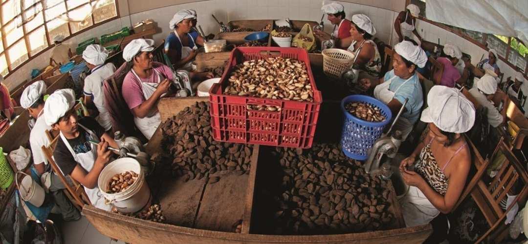 Proyecto amazonia castañas