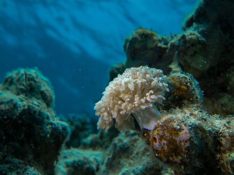 """Esta especie de coral es inmune al """"síndrome blanco"""""""